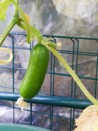 Cucumber plant in the greenhouse | Cate in the Kitchen