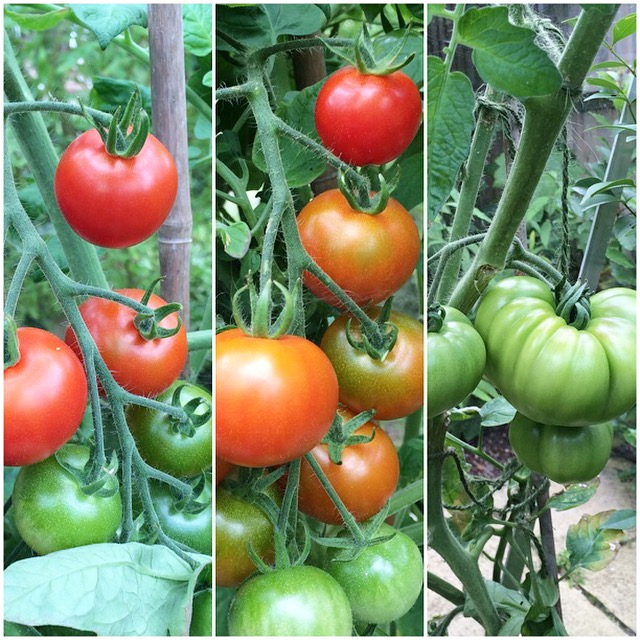 Tomatoes in the greenhouse | Cate in the Kitchen