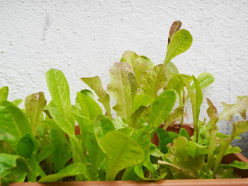 Lettuce in my back garden | Cate in the Kitchen