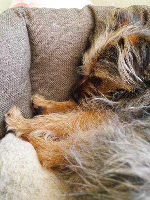 Molly the Border Terrier | Cate in the Kitchen