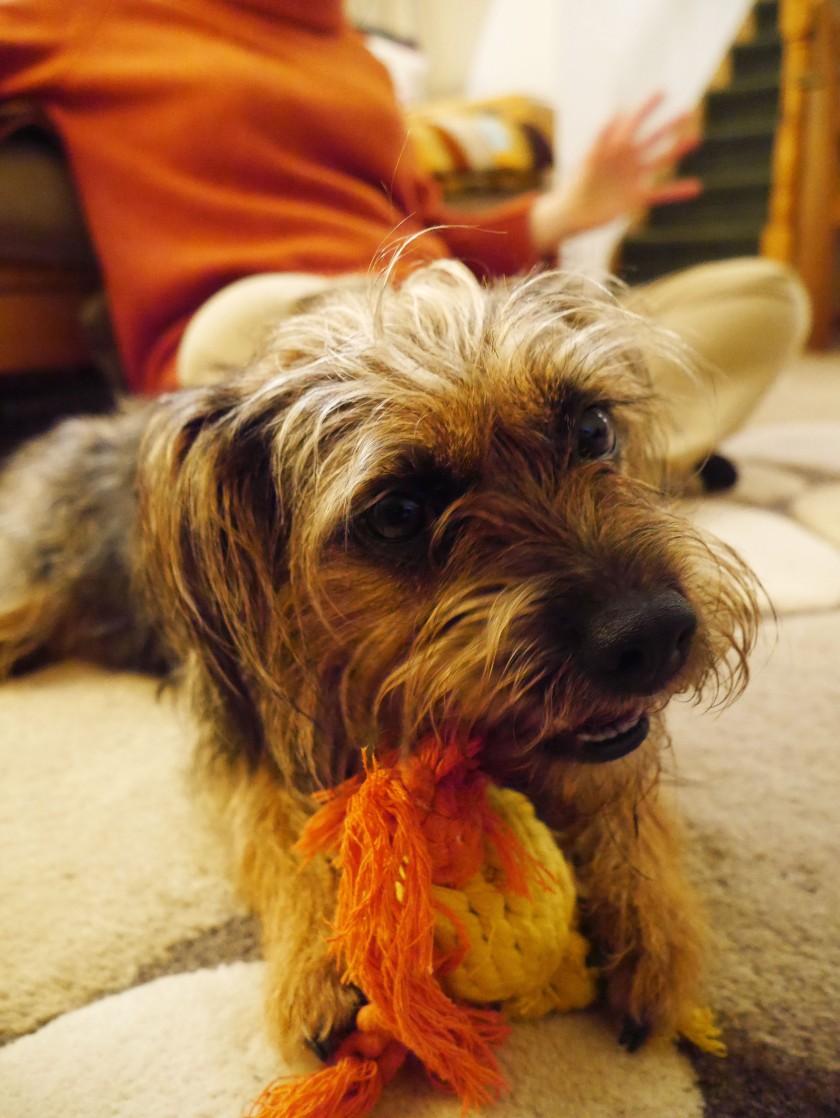 Molly the Border Terrier